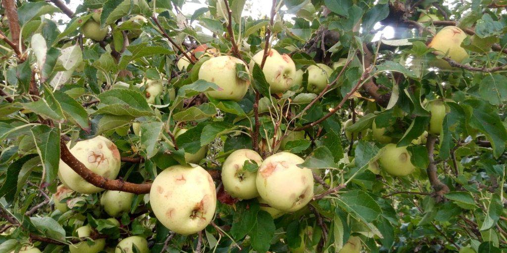Agroseguro daños por pedrisco