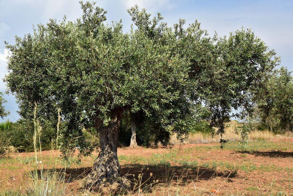 Agroseguro olivar noticias de seguros