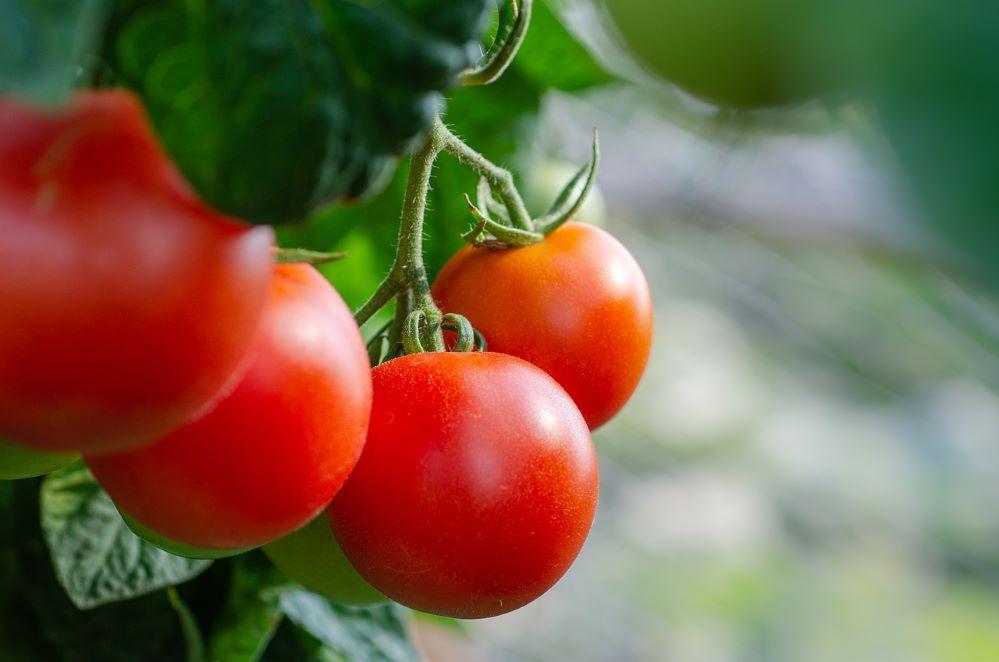 Agroseguro abona hoy 6,3 millones de euros en indemnizaciones a productores de tomate en Extremadura.